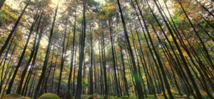 Hutan Pinus Penanggal