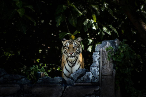 Harimau Show from Predator to Prey