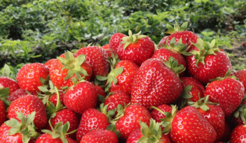 kebun strawberry bedugul