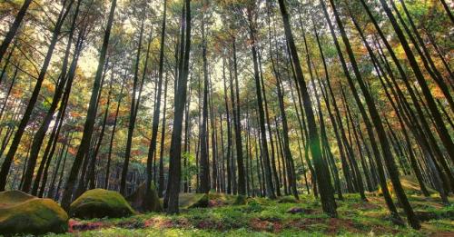 Hutan Pinus Kayon