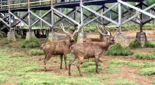 penangkaran rusa ranca upas