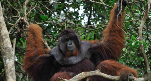 Borneo Orangutan Survival