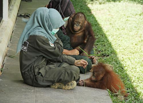Borneo Orangutan Survival2